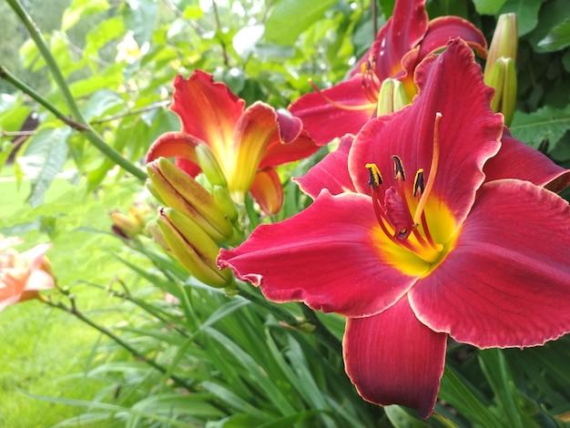 Kwitnąca jasna lilia, hemerocallis w zielonym ogrodzie.