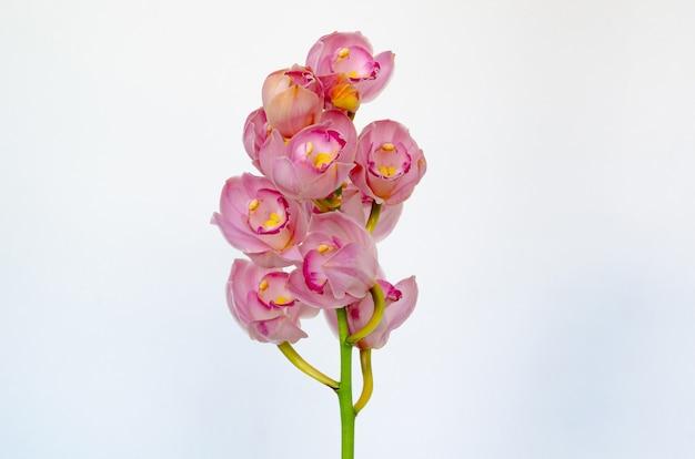 Kwitnąca Klastra Storczyków Cymbidium Różowego Koloru Na Białym Tle. Premium Zdjęcia