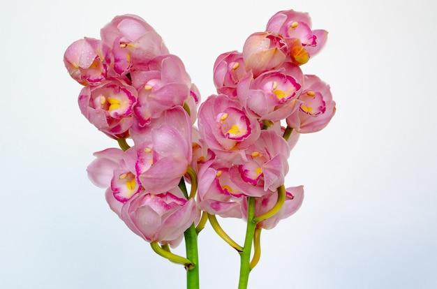 Kwitnąca klastra storczyków cymbidium różowego koloru na białym tle.