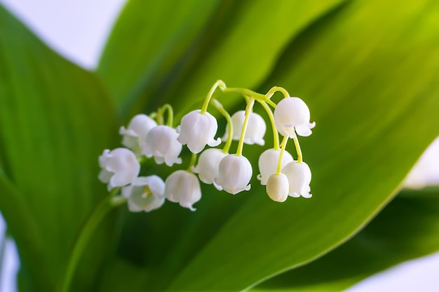 Kwitnąca konwalia. lilia doliny. convallaria majalis.wiosna tło. kwiat konwalii na niebieskim tle