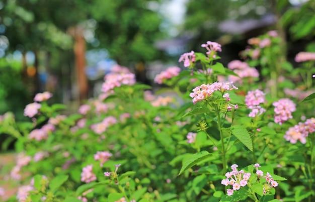 Kwitnąca lantana camara piękne małe kwiaty w ogrodzie