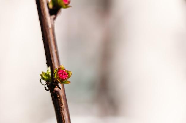 Kwitnąca migdał nerkowy