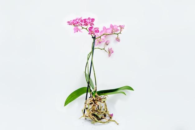 Kwitnąca orchidea z korzeniami na białym tle