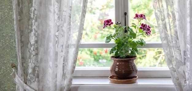 Kwitnąca pelargonia z małymi fioletowymi kwiatami