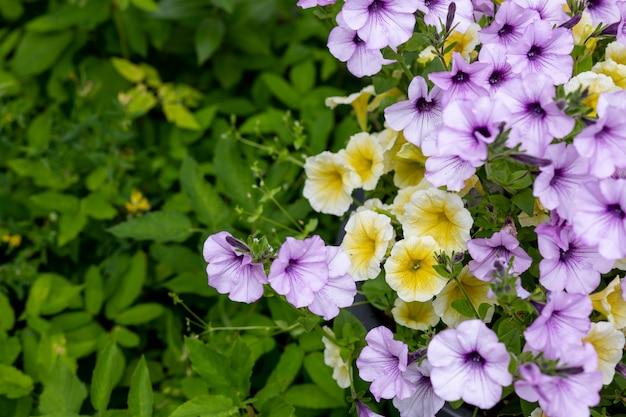 Kwitnąca petunia kwiaty zielone tło.