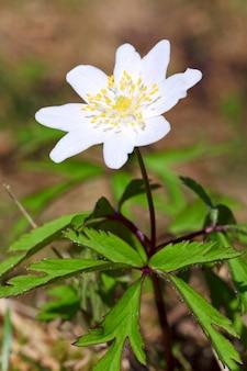 Kwitnąca roślina anemonowa z białym kwiatem w wiosennym lesie