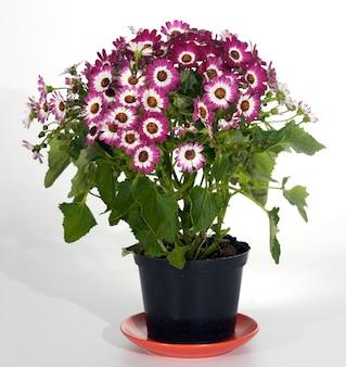 Kwitnąca roślina domowa o różowo-czerwonych kwiatach w doniczce