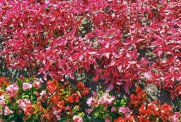 Kwitnąca roślina o różowych i czerwonych kwiatach i liściach (tło natury)