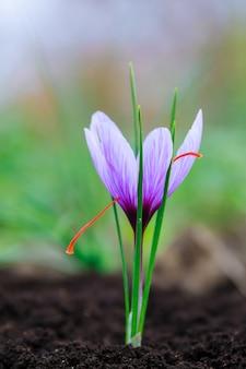 Kwitnąca roślina szafranu. zbieranie kwiatów krokusów na najdroższą przyprawę. fioletowe kwiaty krokusa.