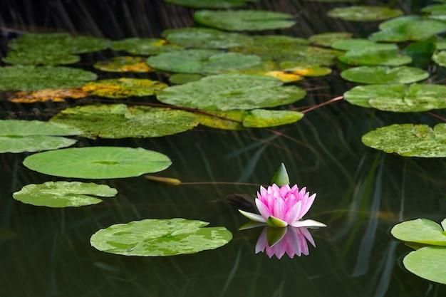 Kwitnąca różowa lilia wodna nymphaea w jeziorze bokod, węgry