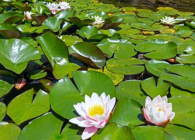 Kwitnąca różowa lilia wodna w parku