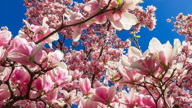 Kwitnąca różowa magnolia wiosną (selektywne ogniskowanie)