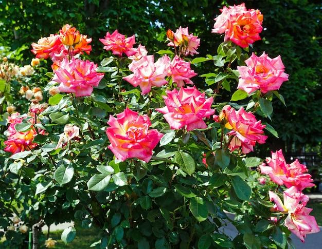 Kwitnąca różowa róża krzew (zbliżenie)