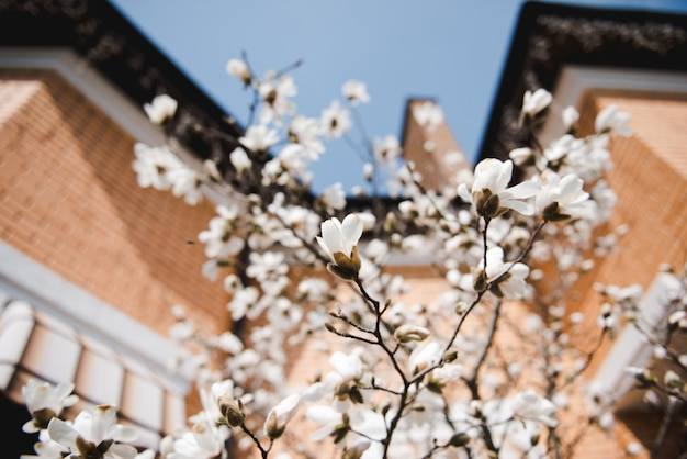 Kwitnąca sakura na tle domu. wiosna.