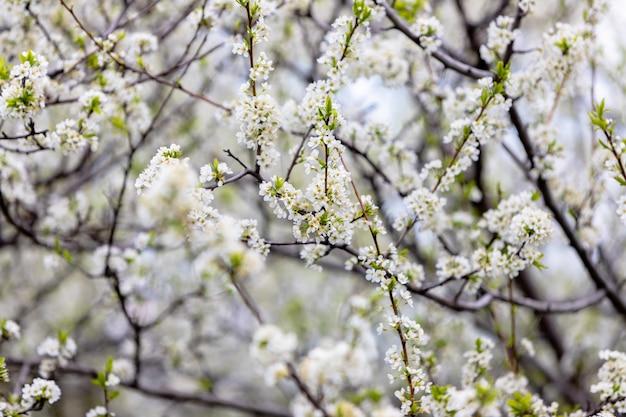 Kwitnąca śliwa. gałęzie pokryte są białymi kwiatami.