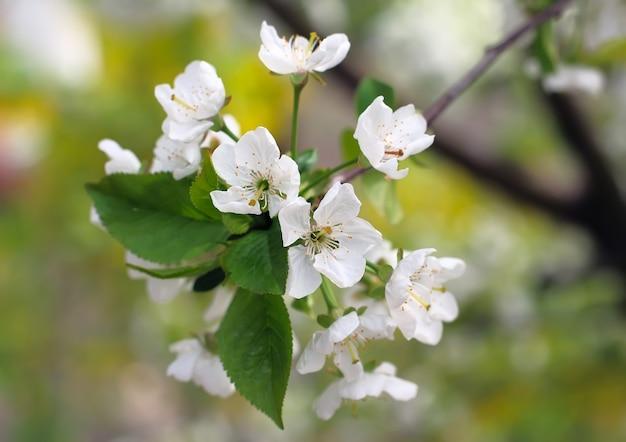 Kwitnąca śliwka wiśniowa z bliska.