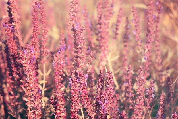 Kwitnąca szałwia ogrodowa (szałwia zwyczajna, szałwia kulinarna), salvia officinalis
