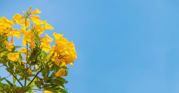 Kwitnąca tekoma wznosi żółte kwiaty na tle nieba