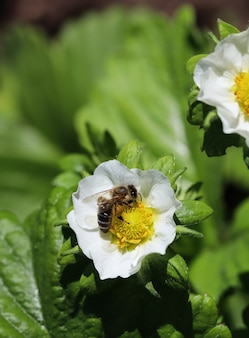 Kwitnąca truskawka z pszczołą w gospodarstwie ekologicznym. koncepcja ogrodnicza