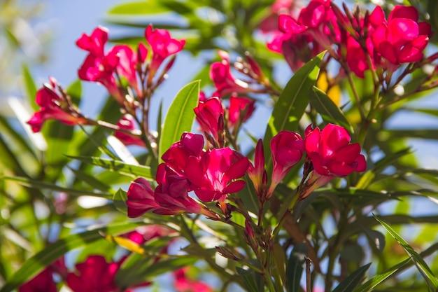 Kwitnąca wielokolorowa begonia w klombie