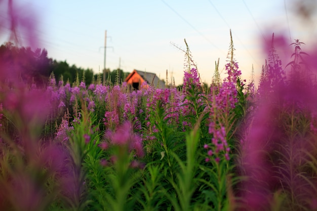 Kwitnąca wierzba zioło iwan herbata fireweed epilobium angustifolium tło