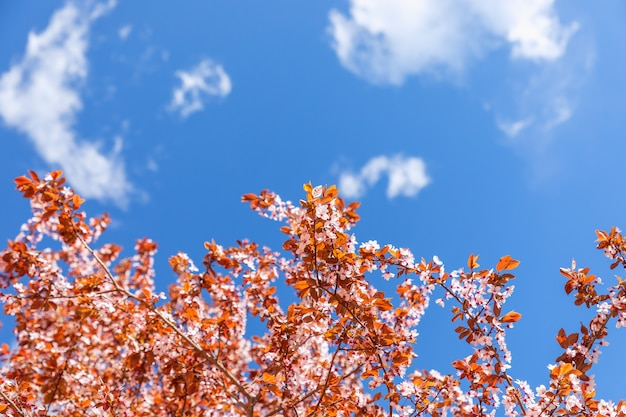 Kwitnąca wiosenna sakura na tle jasnego błękitnego nieba (selektywna ostrość)
