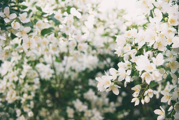 Kwitnąca wiosna biały