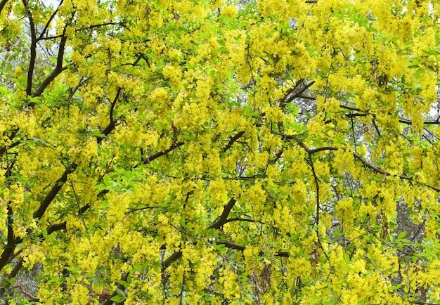 Kwitnąca wiosna drzewo z żółtymi kwiatami (tło natury)