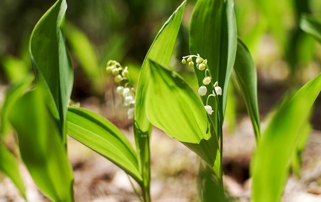 Kwitnąca wiosną konwalia zielona trawa tło w słońcu