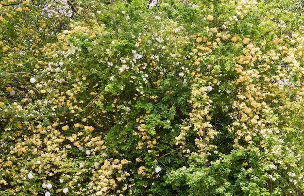 Kwitnąca wiosna krzew o białych i beżowych kwiatach (powierzchnia natury)