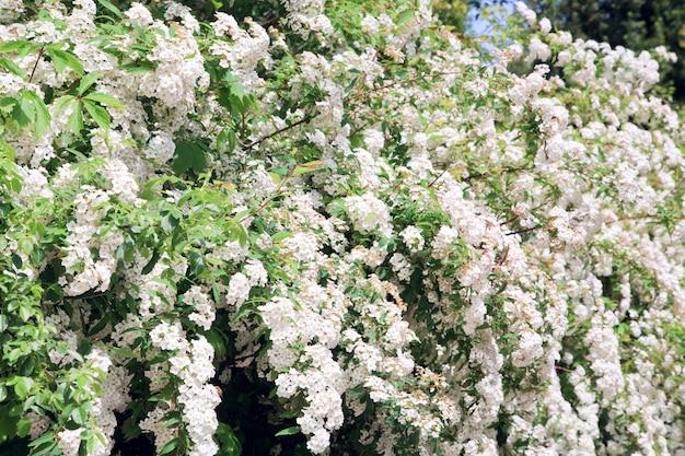 Kwitnąca wiosna krzew z białymi kwiatami (tło natury)