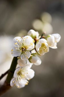 Kwitnąca wiosną morela z pięknymi kwiatami.