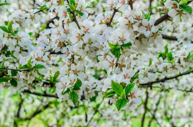 Kwitnąca wiśnia chińska w wiosennym białym zbliżeniu
