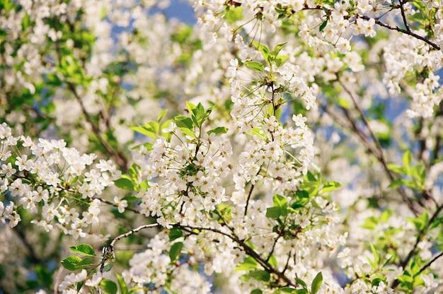 Kwitnąca wiśnia w ogrodzie