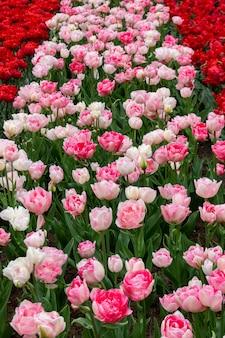 Kwitnące białe i czerwone tulipany w keukenhof, największym na świecie parku kwiatowym
