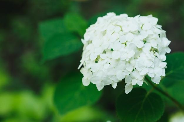 Kwitnące białe rośliny hortensji w pełnym rozkwicie