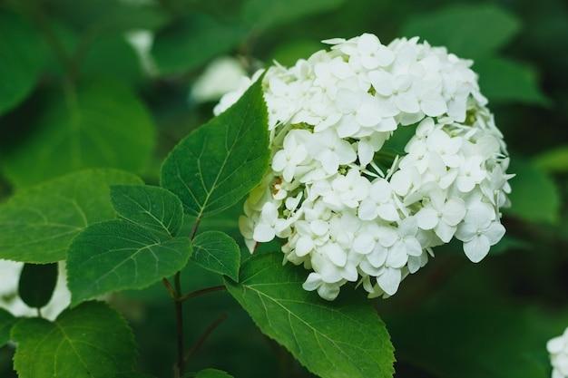 Kwitnące Białe Rośliny Hortensji W Pełnym Rozkwicie Premium Zdjęcia