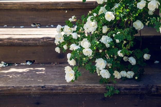 Kwitnące białe róże spadające gałęzie na drewnianych schodach w parku
