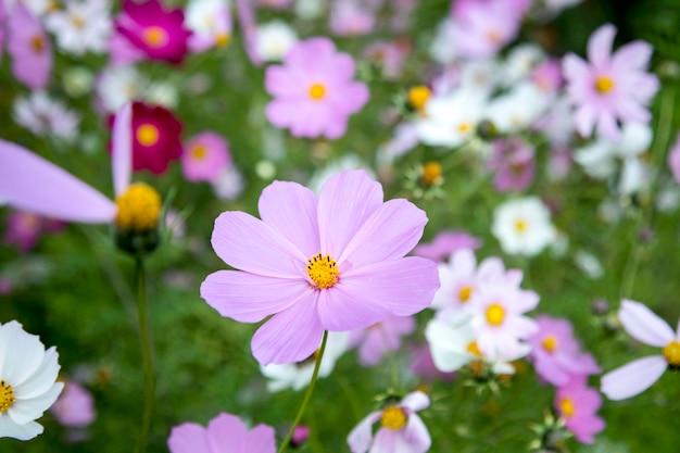 Kwitnące biało-różowe kwiaty kosmosu ogrodowego (cosmos bipinnatus) na łące