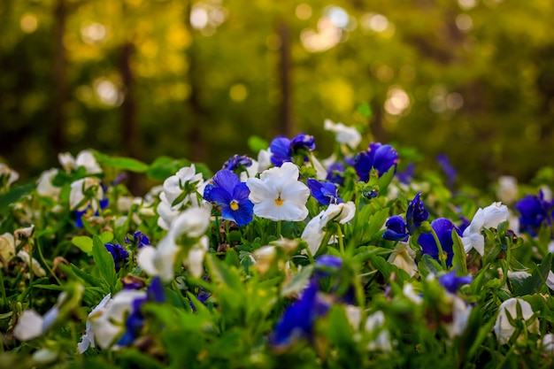 Kwitnące bratki. piękny kwitnący lato kwiat