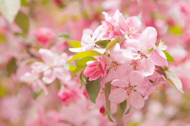 Kwitnące chińskie jabłko kraba. różowy pączek na gałęzi jabłoni w rozkwicie wiosny.