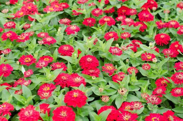 Kwitnące cynie w ogrodzie