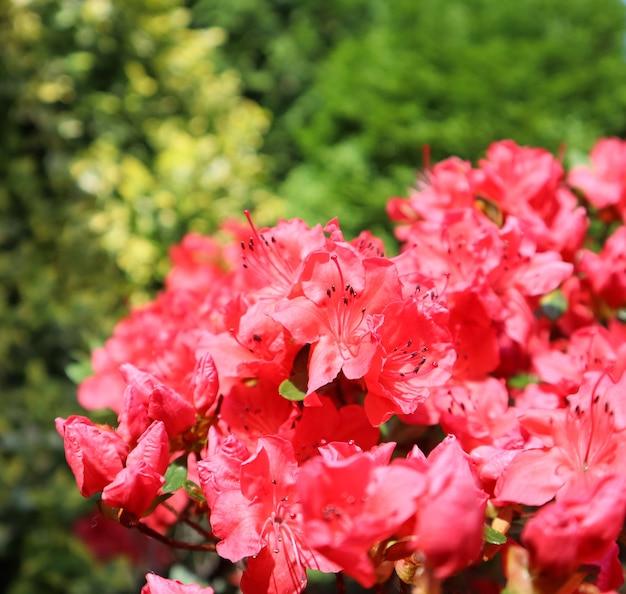 Kwitnące czerwone kwiaty azalii w wiosennym ogrodzie ogrodniczym koncepcja kwiatowym tle