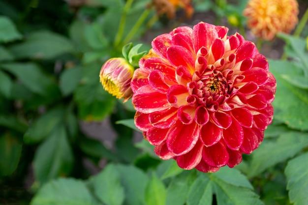 Kwitnące czerwono-pomarańczowe chryzantemy w jesiennym ogrodzie z kroplami rosy lub kwitnącymi deszczem kwiatów