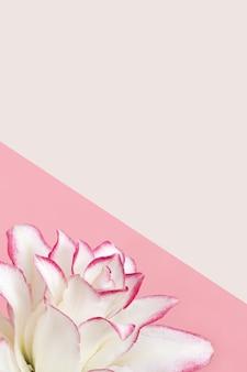 Kwitnące delikatne płatki piwonii lilii, białe kwitnące lilie kwitną na różowym tle i kopiują przestrzeń