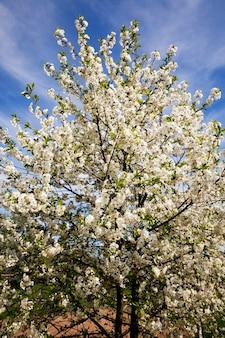 Kwitnące drzewa - białe kwiaty, które pojawiły się na drzewie owocowym