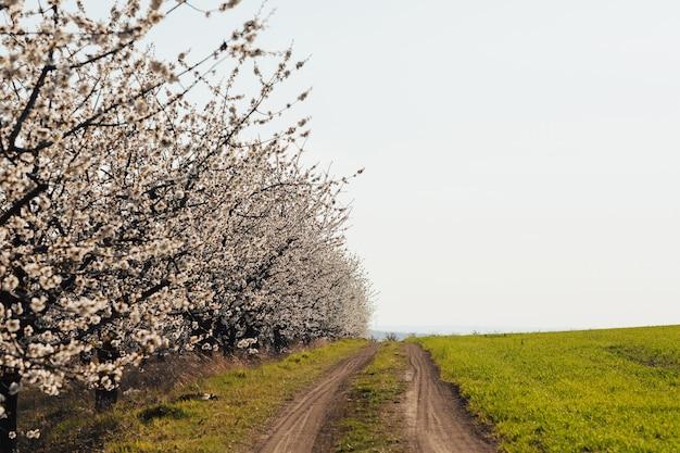 Kwitnące drzewa i zielona trawa wzdłuż wiejskiej drogi.