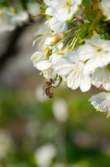Kwitnące drzewa. pszczoła na biały kwiat. gałąź drzewa o białych kwiatach