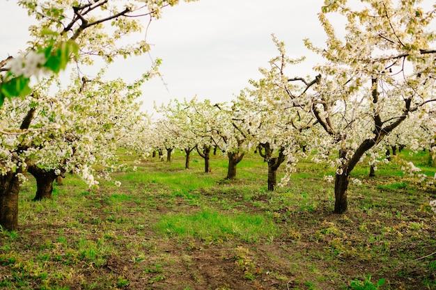 Kwitnące drzewa wiosną. zapach kwiatów w sadzie. aromaterapia. piękno natury.