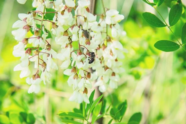Kwitnące drzewo akacjowe w ogrodzie. selektywne skupienie.